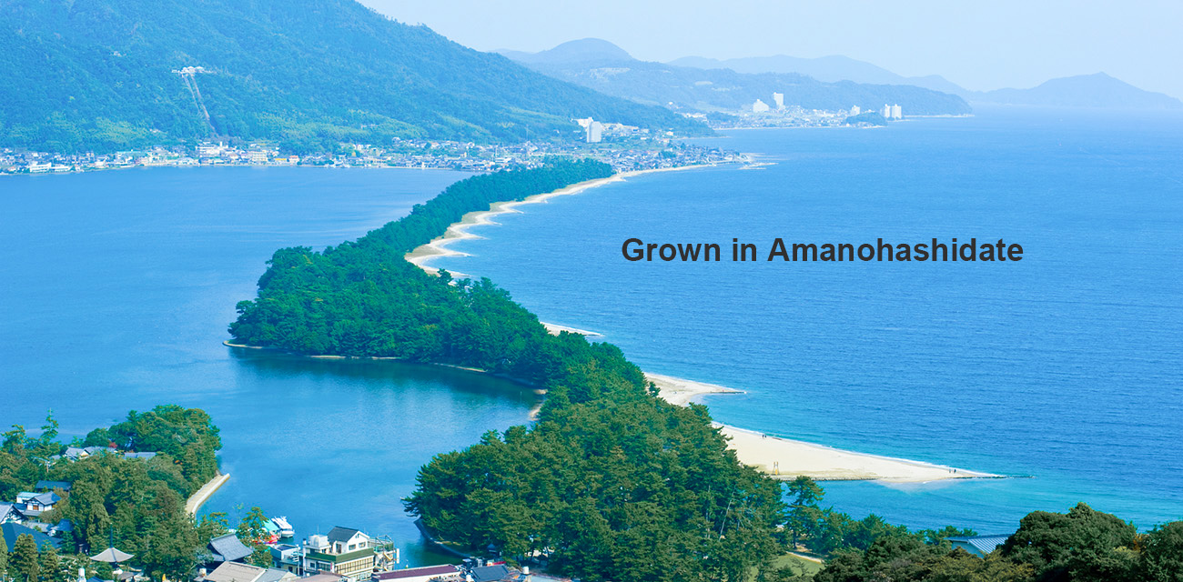 Grown in Amanohashidate